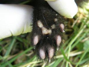 Polecat hind (rear) paw