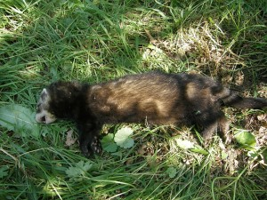 Polecat road casualty in Bedfordshire