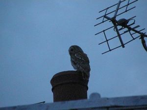 Tawny Owl on the Roof