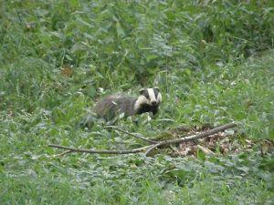 Badger Watching Me