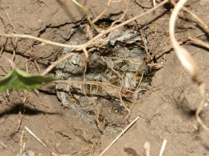 A wasps nest dug out by badgers 3