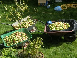 Apples ready for cider
