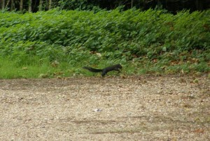 Black Squirrel at Woburn