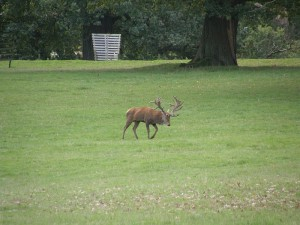 Red Deer Stag at Woburn
