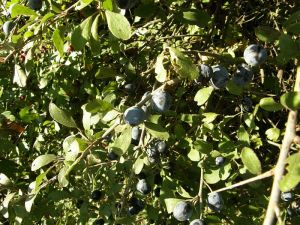 Sloes in the hedgerow - the fruit of the blackthorn