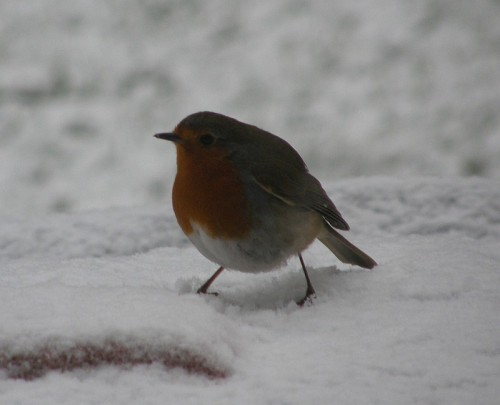 Happy Winter Solstice! - Robin in Snow