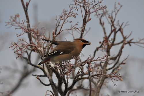 Waxwing by Richard Gleave