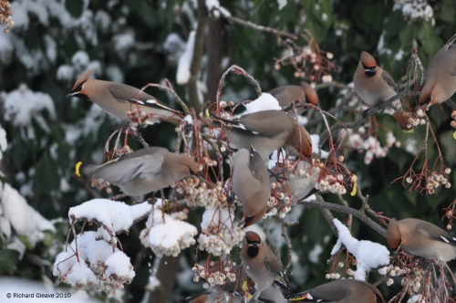 Waxwing flock in Woburn by Richard Gleave