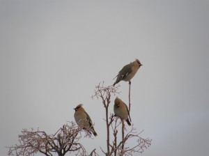 Waxwings in Woburn