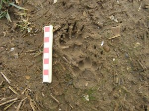 Badger tracks - front and hind feet