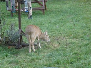 Chinese Water Deer at the bird table