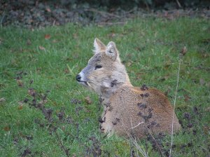 Chinese Water Deer in the garden