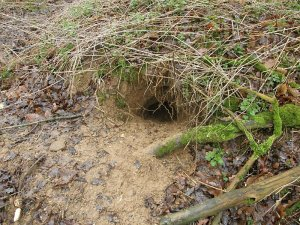 Active badger hole