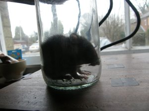 Rattus Norvegicus - the Brown Rat