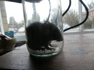 Rattus Norvegicus - the Brown Rat