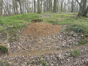 Spoil heap and path - classic signs of an active badger sett