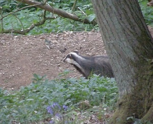 First Badger of 2011