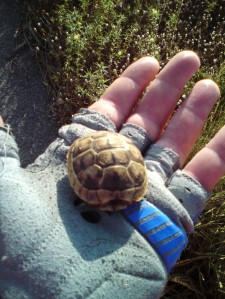 Wild Baby Tortoise in Turkey