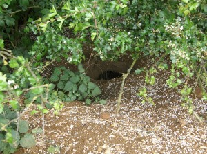 Hole at the Badger Sett in the hedgerow