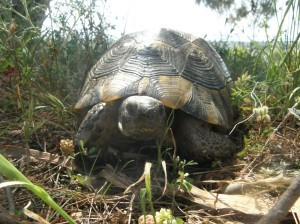 Wild tortoise in Turkey