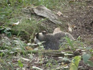 Badger cub crouched in sett entrance