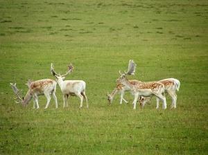 Fallow Deer at Woburn