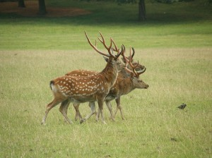 Red Deer Stags at Woburn Deer Park