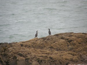 Cormorants off Aberffraw in Anglesey