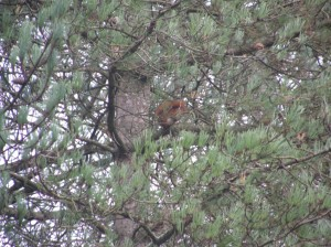 Red Squirrel at Newborough Forest in Anglesey - closer