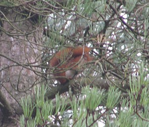 Red Squirrel at Newborough Forest in Anglesey - expanded