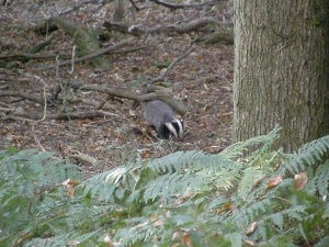 Adult badger at the east end of the sett
