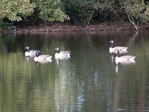 Canada Geese on the lake