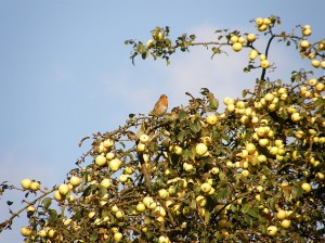Robin in Crab Apples