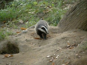 Young badger at the west end of the sett 2