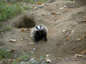 Young badger at the west end of the sett