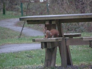 Red Squirrel at Newborough Forest