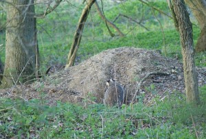 Badger by the big spoil heap