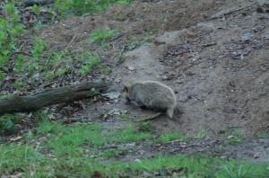 The camera shy badger cub