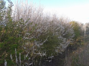 Blackthorn Hedgerow