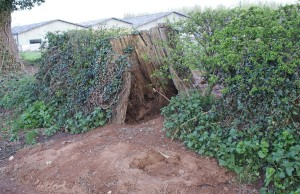 Cheshire Badger Sett in Hollow Tree