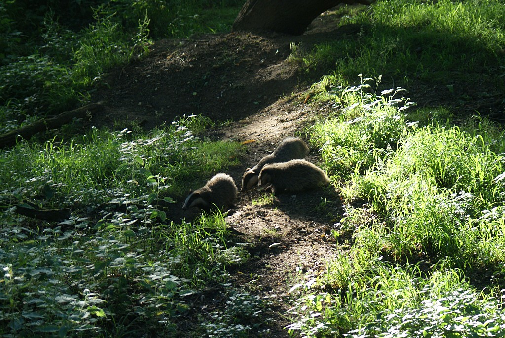 The adult badger and cubs at the west end of the sett
