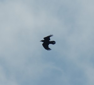 Raven in Turkey