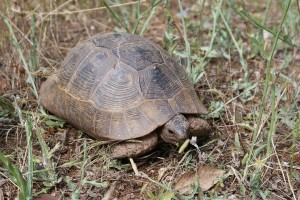 Wild Turkish Tortoise