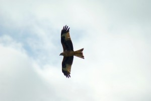 Woburn Red Kite