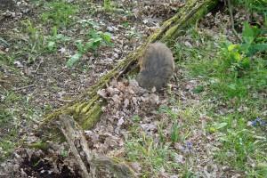 Badger foraging in leaves