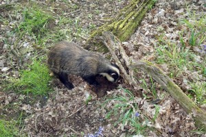 Badger foraging under fallen logs