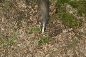 Badger - view from above