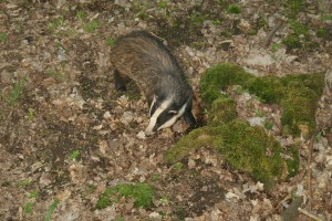 https://badgerwatcher.files.wordpress.com/2013/05/foraging-badger-11.jpg