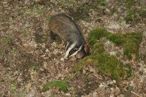 https://badgerwatcher.files.wordpress.com/2013/05/foraging-badger-11.jpg
