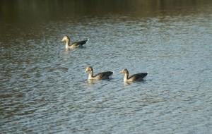 Greylag Geese on the lake
